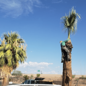 apache junction arizona palm tree trimming
