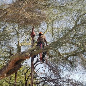 tree cutting service mesa